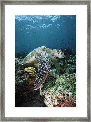 Green Sea Turtle Chelonia Mydas Framed Print by Hiroya Minakuchi