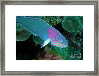 Green Wrasse On Coral Reef Framed Print by Sami Sarkis