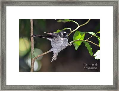 Grey Fantail Nesting Framed Print by Joanne Kocwin