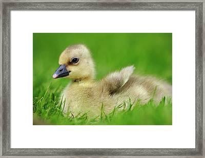 Greylag Goose Anser Anser Gosling Framed Print by Cyril Ruoso