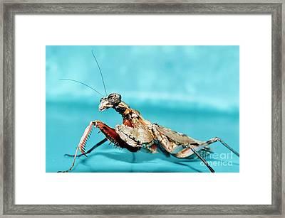 Grizzled Mantis Framed Print by Lynda Dawson-Youngclaus