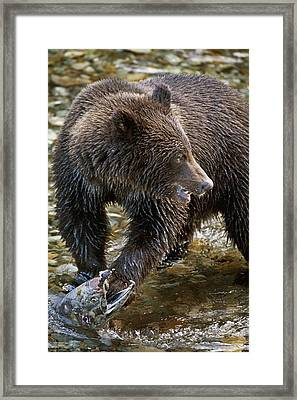 Grizzly Bear Biting Salmon Hyder Framed Print by Richard Wear