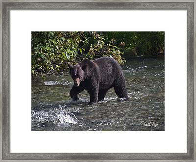Grizzly Chasing Salmon Framed Print by David Salter