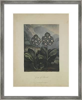 Group Of Auricula Framed Print by Robert John Thornton