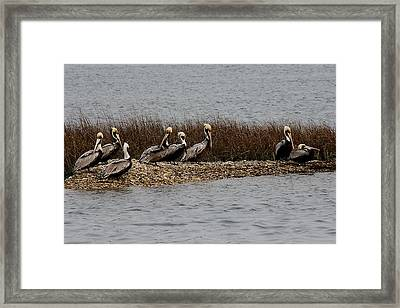 Group Of Pelicans Framed Print by Paulette Thomas