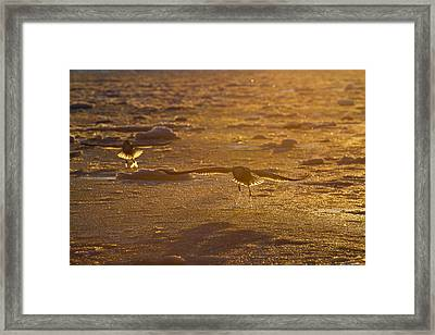 Gulls Searching For A Meal Framed Print by Tim Grams