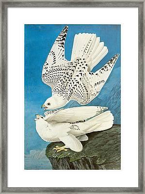 Gyrfalcon Framed Print by John James Audubon