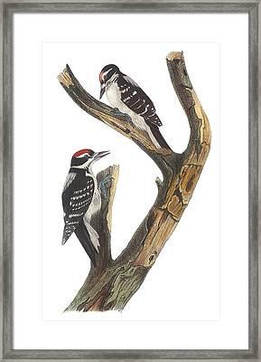 Hairy Woodpecker Framed Print by John James Audubon