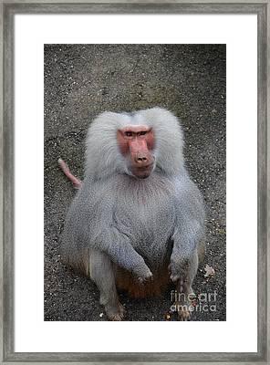 Hamadryas Baboon Framed Print by Eva Kaufman