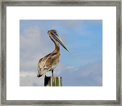 Handsome Brown Pelican Framed Print by Judy Wanamaker