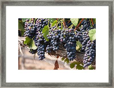 Hanging Wine Grapes Framed Print by Dina Calvarese