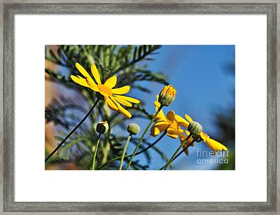 Happy Daisies Framed Print by Kaye Menner