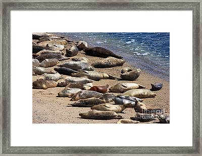 Harbor Seals Sunbathing On The Beach . 40d7553 Framed Print by Wingsdomain Art and Photography
