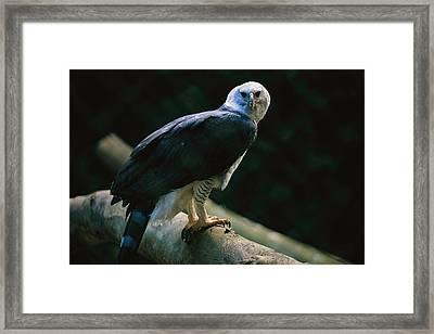 Harpy Eagle Harpia Harpyja Framed Print by Joel Sartore