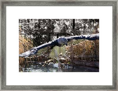 Harpy Eagle In Flight Framed Print by Lindy Spencer