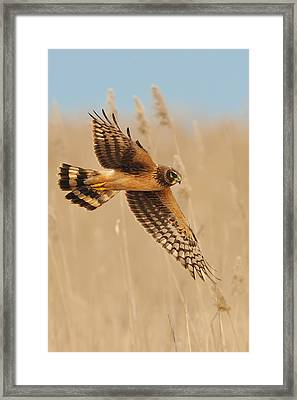 Harrier Over Golden Grass Framed Print by William Jobes