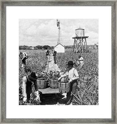 Harvesting Indian River Pineapples - C 1906 - Florida Framed Print by International  Images
