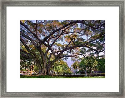 Hawaii Tree Framed Print by Dave Dilli