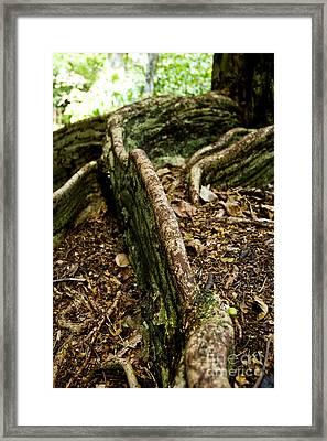 Hawaiian Cypress Framed Print by Micah May