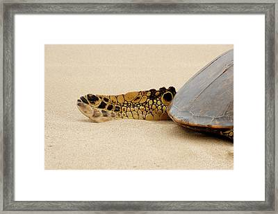 Hawaiian Green Turtle Rear Tail Fin Framed Print by Roderick Bley