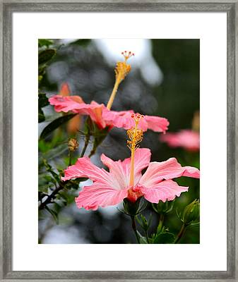 Hawaiian Pink Hibiscus Framed Print by Karon Melillo DeVega