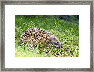 Hedgehog Foraging At Night Framed Print by Duncan Shaw