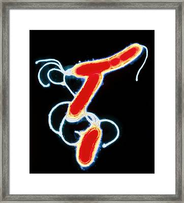 Helicobacter Pylori Bacteria Framed Print by A.b. Dowsett