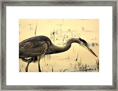 Heron Fishing Framed Print by Marty Koch
