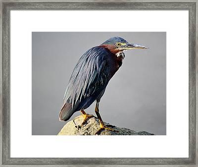 Heron In The Marsh Framed Print by Paulette Thomas