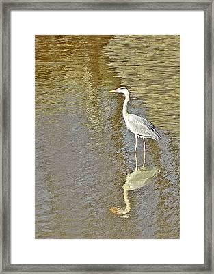 Heron Framed Print by Sharon Lisa Clarke