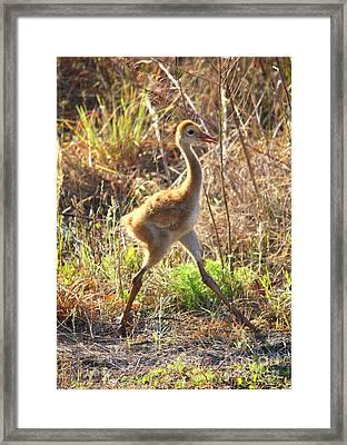 High Stepping Sandhill Chick Framed Print by Carol Groenen