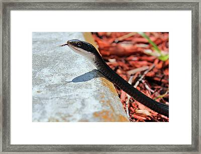 Hiss With Forked Tongue Framed Print by Artistic Photos