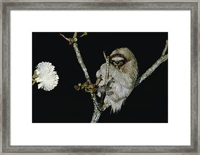 Hoffmanns Two-toed Sloth Choloepus Framed Print by Mark Moffett