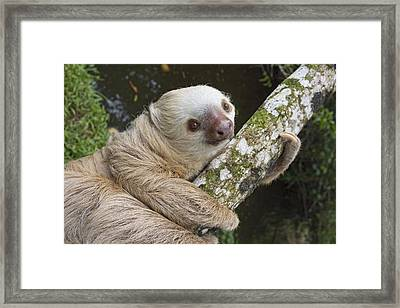 Hoffmanns Two-toed Sloth Costa Rica Framed Print by Suzi Eszterhas