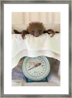 Hoffmanns Two-toed Sloth Orphan Framed Print by Suzi Eszterhas