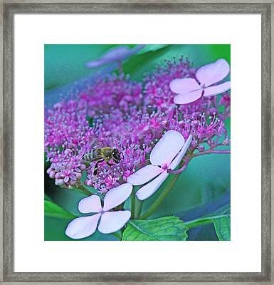 Honeybee On Pink Lace Framed Print by Becky Lodes