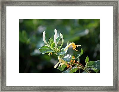 Honeysuckle Framed Print by Theresa Willingham