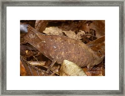 Horned Leaf Chameleon Framed Print by Dante Fenolio