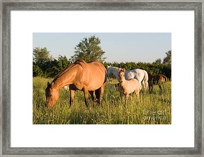 Horses In Green Grassy Pasture Framed Print by Cindy Singleton