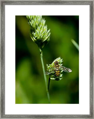 Hoverfly On Grass Framed Print by Lori Coleman