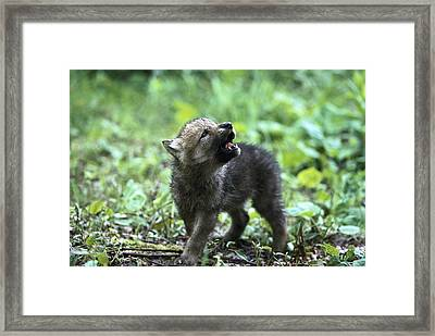 Howling Wolf Pup Framed Print by Konrad Wothe