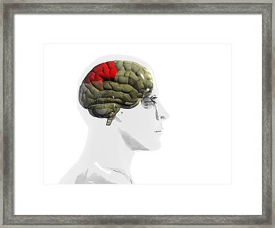 Human Brain, Parietal Lobe Framed Print by Christian Darkin