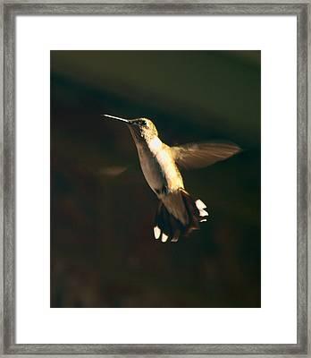Humming Framed Print by Kim Schmidt