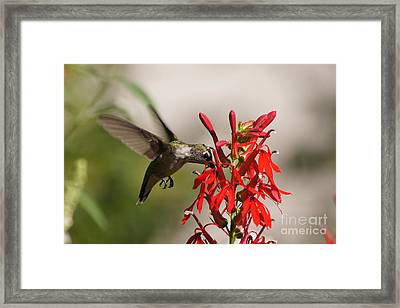 Hummingbird And Cardinal Flower 8069-1 Framed Print by Robert E Alter Reflections of Infinity