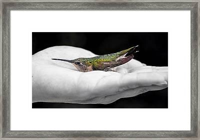 Hummingbird Rescue Framed Print by Bill Tiepelman