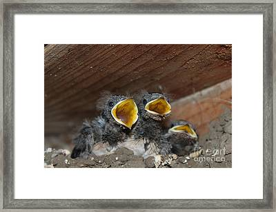 Hungry Cute Little Baby Birds  Www.pictat.ro Framed Print by Preda Bianca Angelica