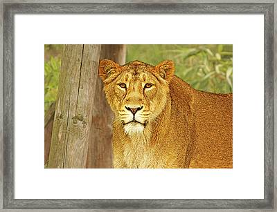 Hungry Eyes Framed Print by Michael Ambrose