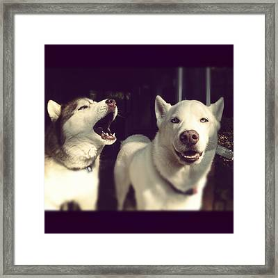 Husky Dogs Framed Print by Photography by Brandon Shepherd