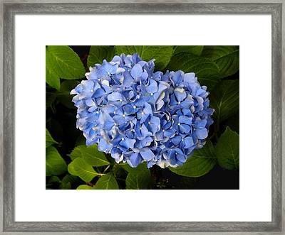 Hydrangea Framed Print by Sandi OReilly