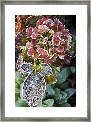 Hydrangea Sp Framed Print by Dr Keith Wheeler